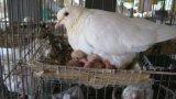 Bán giống chim Bồ Câu Pháp VN1 tại Đắk Lắk