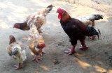 Bán gà Đông Tảo tại Buôn Ma Thuột - Đắk Lắk - Tây Nguyên