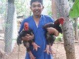 Kỹ Thuật chăn Nuôi Gà Đông Tảo thuần chủng