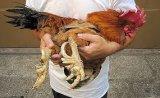 Nuôi gà 9 cựa: Đơn giản như... nuôi gà ri