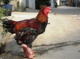 Bán gà Đông Tảo (Đông Cảo) thịt và làm quà biếu tại Đắk Lắk - Tây Nguyên